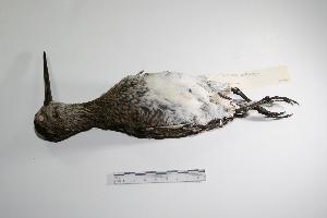 "(Gallinago - MACN-Or-ct 1499)  @14 [ ] Copyright (2012) MACN Museo Argentino de Ciencias Naturales ""Bernardino Rivadavia"""