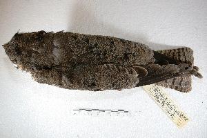 (Podager - MACN-Or-ct 1591)  @13 [ ] Copyright (2014) MACN Museo Argentino de Ciencias Naturales, Bernardino Rivadavia