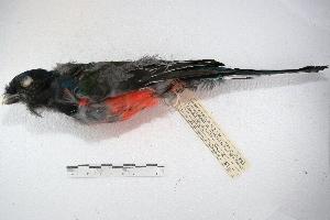 (Trogon surrucura - MACN-Or-ct 1637)  @13 [ ] Copyright (2014) MACN Museo Argentino de Ciencias Naturales, Bernardino Rivadavia