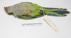 "( - MACN-Or-ct 1694)  @12 [ ] Copyright (2012) MACN Museo Argentino de Ciencias Naturales ""Bernardino Rivadavia"""
