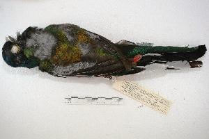 (Trogon surrucura - MACN-Or-ct 1705)  @13 [ ] Copyright (2014) MACN Museo Argentino de Ciencias Naturales, Bernardino Rivadavia