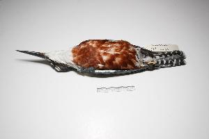 "( - MACN-Or-ct 1718)  @14 [ ] Copyright (2012) MACN Museo Argentino de Ciencias Naturales ""Bernardino Rivadavia"""