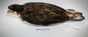 "( - MACN-Or-ct 1753)  @12 [ ] Copyright (2012) MACN Museo Argentino de Ciencias Naturales ""Bernardino Rivadavia"""