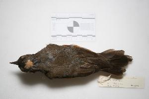"( - MACN-Or-ct 1899)  @13 [ ] Copyright (2012) MACN Museo Argentino de Ciencias Naturales ""Bernardino Rivadavia"""