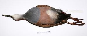"( - MACN-Or-ct 2122)  @13 [ ] Copyright (2012) MACN Museo Argentino de Ciencias Naturales ""Bernardino Rivadavia"""