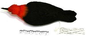 "(Amblyramphus - MACN-Or-ct 2138)  @14 [ ] Copyright (2012) MACN Museo Argentino de Ciencias Naturales ""Bernardino Rivadavia"""