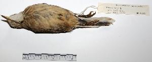 "( - MACN-Or-ct 2150)  @12 [ ] Copyright (2012) MACN Museo Argentino de Ciencias Naturales ""Bernardino Rivadavia"""