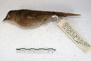 (Phacellodomus - MACN-Or-ct 2187)  @14 [ ] Copyright (2014) MACN Museo Argentino de Ciencias Naturales, Bernardino Rivadavia
