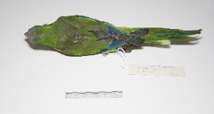 "( - MACN-Or-ct 2212)  @13 [ ] Copyright (2012) MACN Museo Argentino de Ciencias Naturales ""Bernardino Rivadavia"""