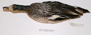 "(Anas sibilatrix - MACN-Or-ct 2236)  @13 [ ] Copyright (2012) MACN Museo Argentino de Ciencias Naturales ""Bernardino Rivadavia"""