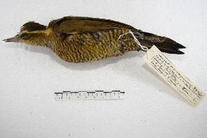 (Piculus - MACN-Or-ct 2372)  @14 [ ] Copyright (2014) MACN Museo Argentino de Ciencias Naturales, Bernardino Rivadavia