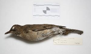 "( - MACN-Or-ct 2387)  @13 [ ] Copyright (2012) MACN Museo Argentino de Ciencias Naturales ""Bernardino Rivadavia"""
