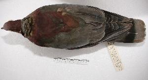 ( - MACN-Or-ct 2664)  @14 [ ] Copyright (2014) MACN Museo Argentino de Ciencias Naturales, Bernardino Rivadavia