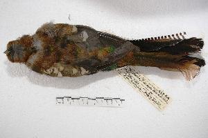 (Trogon rufus - MACN-Or-ct 2845)  @14 [ ] Copyright (2014) MACN Museo Argentino de Ciencias Naturales, Bernardino Rivadavia