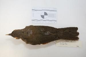 "( - MACN-Or-ct 2871)  @13 [ ] Copyright (2012) MACN Museo Argentino de Ciencias Naturales ""Bernardino Rivadavia"""