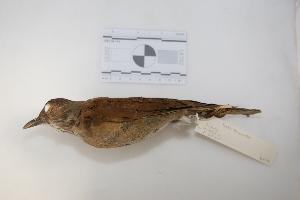 "(Turdus leucomelas - MACN-Or-ct 2872)  @14 [ ] Copyright (2012) MACN Museo Argentino de Ciencias Naturales ""Bernardino Rivadavia"""