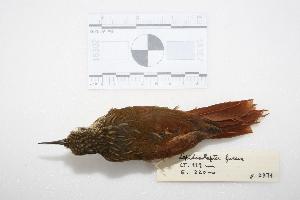 """(Xiphorhynchus - MACN-Or-ct 2971)  @13 [ ] Copyright (2013) MACN Museo Argentino de Ciencias Naturales """"Bernardino Rivadavia"""""""