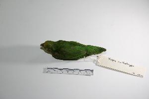 "( - MACN-Or-ct 2974)  @13 [ ] Copyright (2012) MACN Museo Argentino de Ciencias Naturales ""Bernardino Rivadavia"""