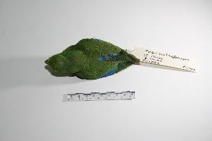 "( - MACN-Or-ct 2980)  @12 [ ] Copyright (2012) MACN Museo Argentino de Ciencias Naturales ""Bernardino Rivadavia"""