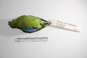 "( - MACN-Or-ct 2980)  @13 [ ] Copyright (2012) MACN Museo Argentino de Ciencias Naturales ""Bernardino Rivadavia"""
