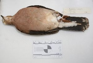 "(Leptotila rufaxilla - MACN-Or-ct 2981)  @13 [ ] Copyright (2012) MACN Museo Argentino de Ciencias Naturales ""Bernardino Rivadavia"""