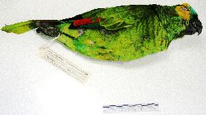 "( - MACN-Or-ct 3075)  @12 [ ] Copyright (2012) MACN Museo Argentino de Ciencias Naturales ""Bernardino Rivadavia"""