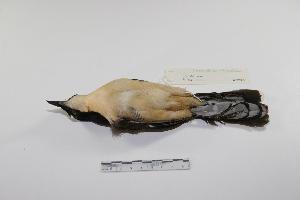 "(Donacobiidae - MACN-Or-ct 3270)  @13 [ ] Copyright (2012) MACN Museo Argentino de Ciencias Naturales ""Bernardino Rivadavia"""