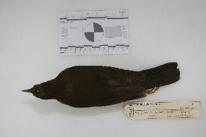 "(Turdus nigriceps - MACN-Or-ct 960)  @13 [ ] Copyright (2012) MACN Museo Argentino de Ciencias Naturales ""Bernardino Rivadavia"""