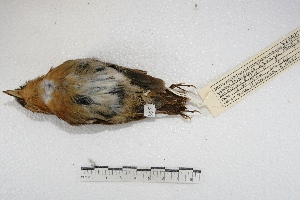 (Conopophaga - MACN-Or-ct 3548)  @15 [ ] Copyright (2014) MACN Museo Argentino de Ciencias Naturales, Bernardino Rivadavia