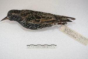 (Sturnus vulgaris - MACN-Or-ct 3988)  @14 [ ] Copyright (2014) MACN Museo Argentino de Ciencias Naturales, Bernardino Rivadavia