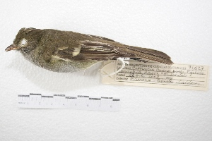 (Elaenia parvirostris - MACN-Or-ct 4253)  @13 [ ] Copyright (2015) MACN Museo Argentino de Ciencias Naturales, Bernardino Rivadavia