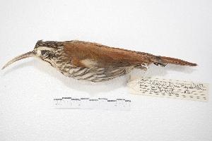 (Lepidocolaptes - MACN-Or-ct 4255)  @14 [ ] Copyright (2015) MACN Museo Argentino de Ciencias Naturales, Bernardino Rivadavia