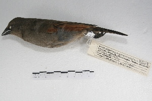 ( - MACN-Or-ct 5061)  @13 [ ] Copyright (2015) MACN Museo Argentino de Ciencias Naturales, Bernardino Rivadavia