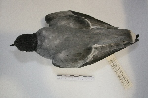 (Halobaena - MACN-Or-ct 6090)  @11 [ ] Copyright (2014) MACN Museo Argentino de Ciencias Naturales, Bernardino Rivadavia
