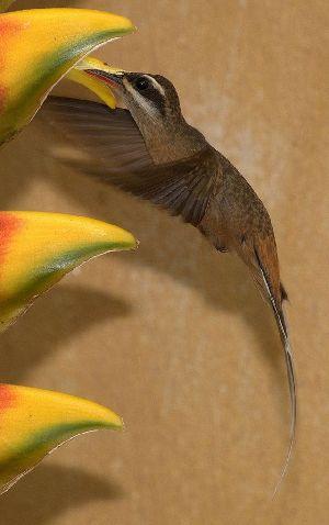 (Phaethornis pretrei - MACN-Or-ct 6819)  @11 [ ] Copyright (2016) MACN Museo Argentino de Ciencias Naturales (Bernardino Rivadavia)