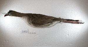 (Cariamiformes - MACN-Or-ct 8003)  @11 [ ] Copyright (2015) MACN Museo Argentino de Ciencias Naturales, Bernardino Rivadavia