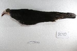 ( - MACN-Or-ct 8010)  @11 [ ] Copyright (2015) MACN Museo Argentino de Ciencias Naturales, Bernardino Rivadavia