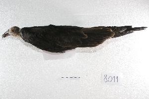 ( - MACN-Or-ct 8011)  @11 [ ] Copyright (2015) MACN Museo Argentino de Ciencias Naturales, Bernardino Rivadavia