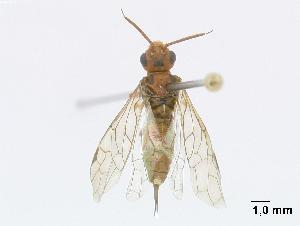 (Xyelidae - DEIGisHym4780)  @14 [ ] Copyright (2010) Senckenberg Deutsches Entomologisches Institut Senckenberg Deutsches Entomologisches Institut