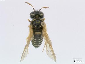 (Megalodontesidae - DEIGisHym4899)  @15 [ ] Copyright (2010) Senckenberg Deutsches Entomologisches Institut Senckenberg Deutsches Entomologisches Institut
