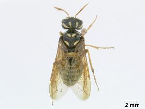 (Megalodontesidae - DEIGisHym4952)  @15 [ ] Copyright (2010) Senckenberg Deutsches Entomologisches Institut Senckenberg Deutsches Entomologisches Institut