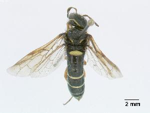 (Megalodontesidae - DEIGisHym4934)  @15 [ ] Copyright (2010) Senckenberg Deutsches Entomologisches Institut Senckenberg Deutsches Entomologisches Institut