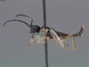 (Thrinax contigua - DEIGISHym11301)  @11 [ ] Copyright (2011) Senckenberg Deutsches Entomologisches Institut Senckenberg Deutsches Entomologisches Institut