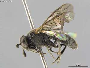 (Cimbicidae - DEIGISHym5205)  @15 [ ] Copyright (2013) Senckenberg DEI Senckenberg DEI