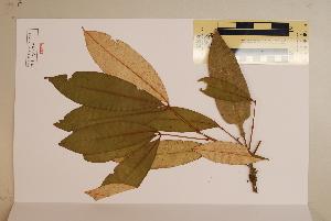 (Argyrodendron - CNS_CC_6075_A9)  @11 [ ] Copyright (2010) Australia Tropical Herbarium CSIRO, Queensland Government and James Cook University