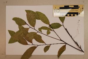 (Xanthophyllum octandrum - CNS_CC_6079_H2)  @11 [ ] Copyright (2010) CSIRO, Queensland Government and James Cook University CSIRO, Queensland Government and James Cook University
