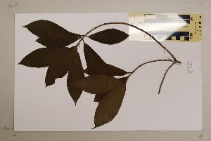 (Ficus nodosa - CNS_CC_6076_G7)  @11 [ ] Copyright (2010) CSIRO, Queensland Government and James Cook University CSIRO, Queensland Government and James Cook University