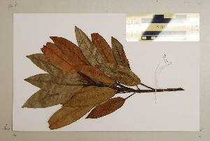 (Ficus destruens - CNS_CC_6077_F10)  @11 [ ] Copyright (2010) Australia Tropical Herbarium CSIRO, Queensland Government and James Cook University