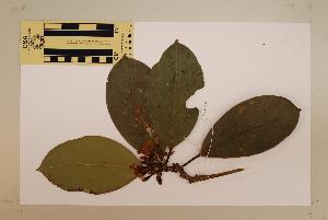 (Fagraea - CNS_CC_6077_G4)  @11 [ ] Copyright (2010) Australia Tropical Herbarium CSIRO, Queensland Government and James Cook University