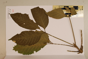 (Melicope - CNS_CC_6079_C7)  @11 [ ] Unspecified (default): All Rights Reserved  Australia Tropical Herbarium Unspecified